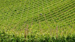 Vigneto verde ed il suo contadino